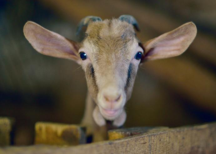 imatge d'una cabra
